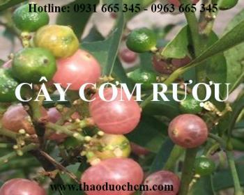 Mua bán cây cơm rượu tại Đà Nẵng có công dụng trị viêm loét dạ dày