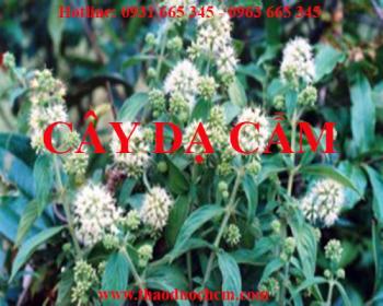 Địa chỉ bán cây dạ cẩm điều trị viêm họng sưng họng uy tín chất lượng nhất