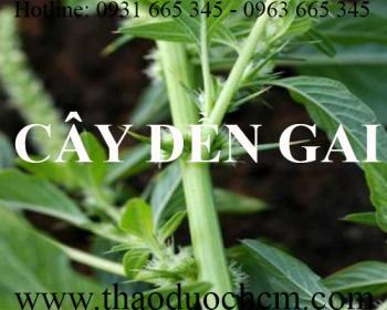 Mua bán cây dền gai tại Thái Bình rất tốt trong việc điều trị ứ huyết