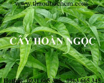 Mua bán cây hoàn ngọc tại quận Thanh Xuân giúp điều trị viêm loét dạ dày