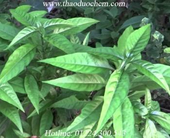 Mua bán cây hoàn ngọc tại củ chi điều trị đầy bụng khó tiêu hiệu quả