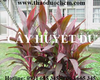 Mua bán cây huyết dụ tại Phú Thọ rất tốt trong việc điều trị bệnh trĩ