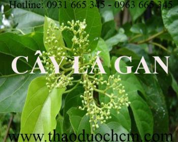 Mua bán cây lá gan tại huyện Thạch Thất giúp điều trị mụn nhọt an toàn