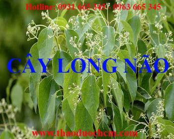 Mua bán cây long não tại huyện Mê Linh có tác dụng trị chàm ở bàn chân