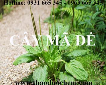 Mua bán cây mã đề tại huyện Từ Liêm hỗ trợ cai thuốc lá hiệu quả nhất