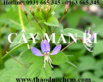 Mua bán cây mần ri tại huyện Ứng Hòa có tác dụng điều trị lao hạch tốt nhất