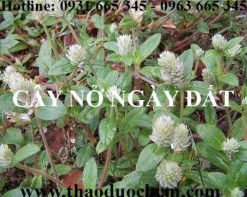 Mua bán cây nở ngày đất tại quận Long Biên giúp kháng viêm hiệu quả