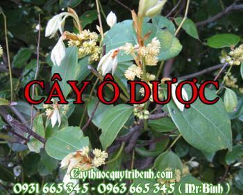 Mua bán cây ô dược tại Ninh Thuận điều trị đau tắt ngẽn ở phổi rất tốt