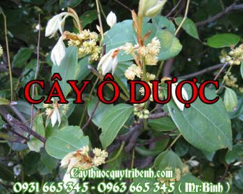 Mua bán cây ô dược tại Thanh Hóa có tác dụng chữa chứng suy thận