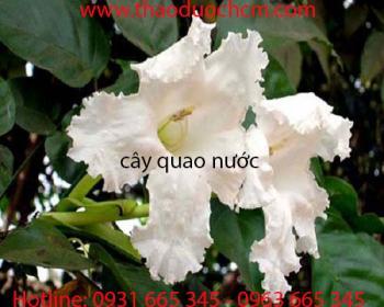 Mua bán cây quao nước tại Nghệ An rất hiệu quả trong việc bổ phổi