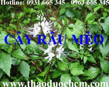 Địa điểm bán cây râu mèo tại Hà Nội giúp lợi tiểu hiệu quả nhất