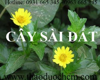 Mua bán cây sài đất tại Quảng Trị giúp điều trị chóc lở da đầu rất tốt