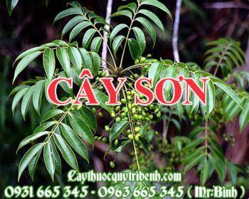 Mua bán cây sơn tại huyện Quốc Oai rất tốt trong việc đau bụng giun