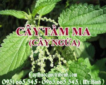Mua bán cây tầm ma (cây ngứa) tại Trà Vinh có công dụng trị viêm khớp