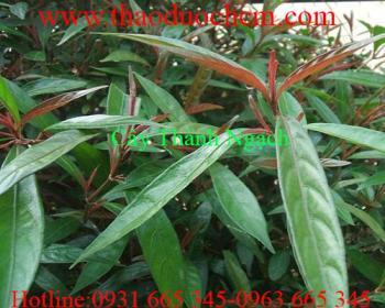 Mua bán cây thành ngạnh ở Đà Nẵng hỗ trợ trị kinh nguyệt không đều