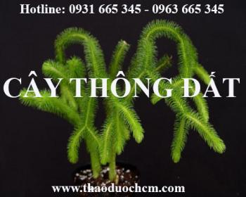Mua bán cây thông đất tại huyện Thanh Trì rất tốt trong việc điều trị teo não