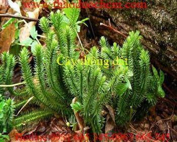 Cách sử dụng cây thông đất trong điều trị bệnh ho mãn tính tốt nhất