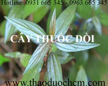 Mua bán cây thuốc dòi tại Vĩnh Phúc có công dụng giúp tiêu đờm rất tốt