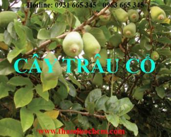 Mua bán cây trâu cổ tại huyện Ba Vì rất tốt trong việc điều trị liệt dương