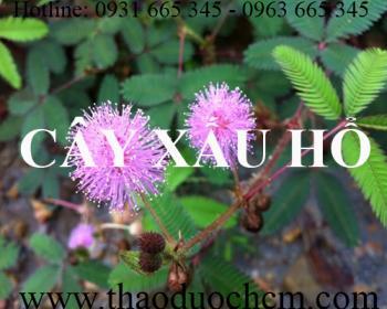 Mua bán cây xấu hổ tại huyện Ứng Hòa có tác dụng điều hòa huyết áp
