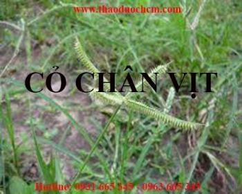 Mua bán cỏ chân vịt tại Ninh Thuận rất tốt trong điều trị vàng mắt