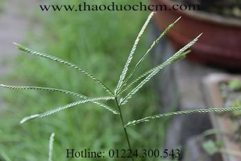 Tác dụng của cỏ mần trầu trong điều trị đau đầu tức ngực tốt nhất
