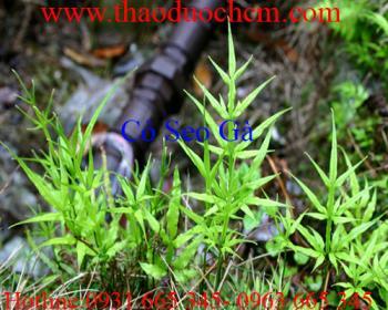 Mua bán cây cỏ seo gà ở huyện Bình Chánh có tác dụng điều trị tiêu chảy
