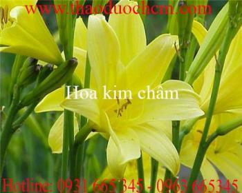 Mua bán hoa kim châm ở huyện Củ Chi có tác dụng mát gan chất lượng nhất