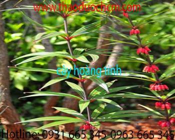 Mua bán cây hoàng tinh ở huyện Củ Chi hỗ trợ trị ho chất lượng nhất