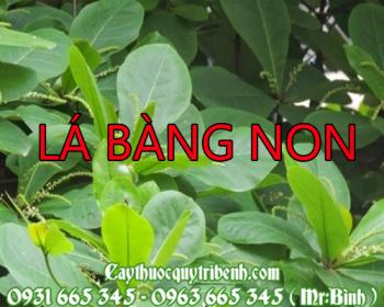 Mua bán lá bàng non tại Thái Bình có tác dụng điều trị cảm sốt kèm ho