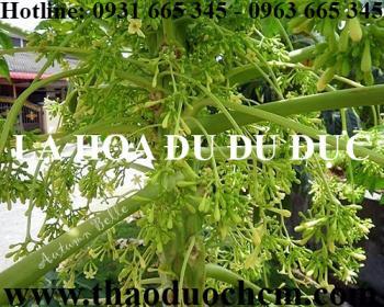 Mua bán lá hoa đu đủ đực tại huyện Ba Vì có tác dụng làm đẹp da giảm mụn