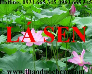 Mua bán lá sen tại huyện Thanh Trì rất tốt trong việc điều trị ho ra máu