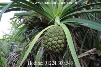 Mua bán quả dứa dại tại Phú Yên có tác dụng chữa viêm thận phù thũng