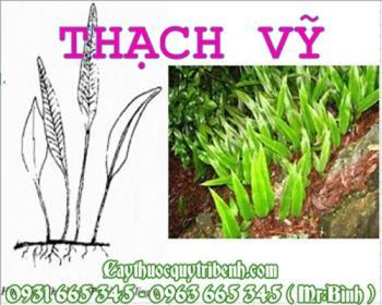 Mua bán thạch vỹ tại Quảng Trị có công dụng điều trị tiểu tiện ra sỏi
