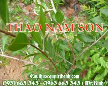 Mua bán thảo nam sơn tại Quảng Nam giúp điều trị đau lưng mỏi gối