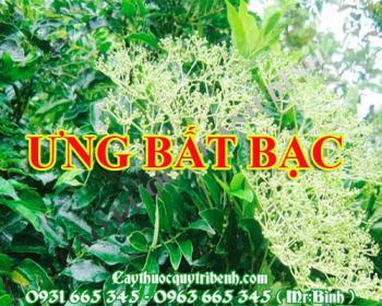 Mua bán cây ưng bất bạc tại Thanh Hóa có công dụng điều trị viêm mủ da