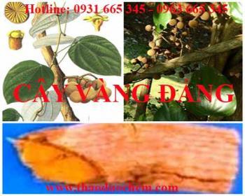 Mua bán cây vàng đắng tại huyện Đan Phượng có tác dụng điều trị đau mắt