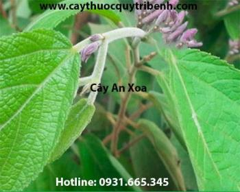 Mua bán cây an xoa chất lượng tại Sơn La trị các bệnh về gan tốt nhất