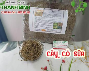 Mua bán cây cỏ sữa ở huyện Bình Chánh giúp giảm chứng nóng trong người