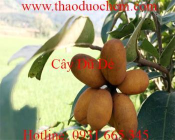 Mua bán cây dũ dẻ ở quận Tân Phú có công dụng làm tinh dầu tốt nhất