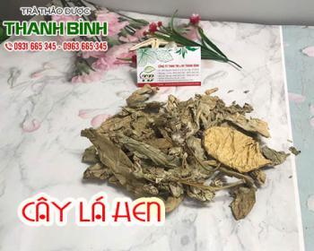 Mua bán cây lá hen ở quận Bình Tân giúp điều trị kiết lỵ và hen suyễn