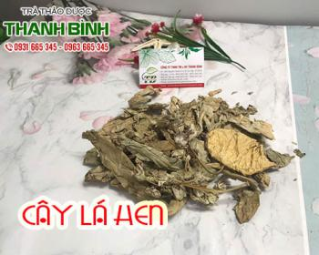 Mua bán cây lá hen ở huyện Bình Chánh giúp điều trị viêm đường hô hấp