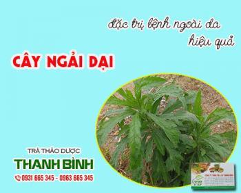 Mua bán cây ngải dại tại TPHCM uy tín chất lượng tốt nhất