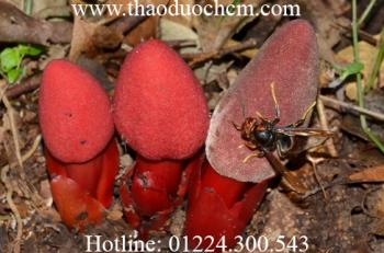 Mua bán nấm ngọc cẩu tại quận gò vấp tốt cho hệ tiêu hóa